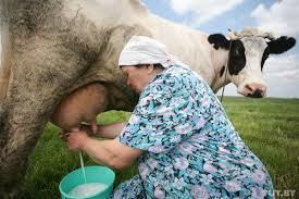 Вы спрашивали: будут ли платить надбавки за молоко и за телят?