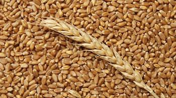 Весной шумилинские аграрии должны засеять 8 тысяч гектаров зерновыми и зернобобовыми. Срочно готовим семена