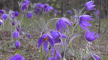 Минприроды предупреждает об ответственности за сбор редких первоцветов