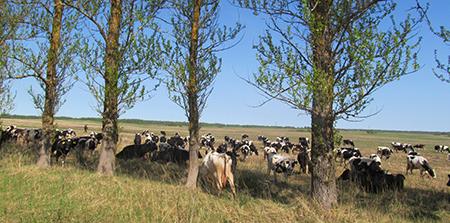 Почти 50 стад коров и тёлок перевели в Шумилинском районе на пастбищное содержание