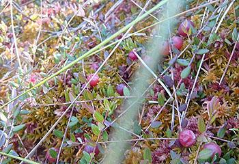 Сходили за ягодами. Двух женщин и ребенка искали в лесах Псковской области, а нашли под Витебском