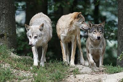 В Городке волки съели несколько собак и попали на камеру видеонаблюдения в центре города