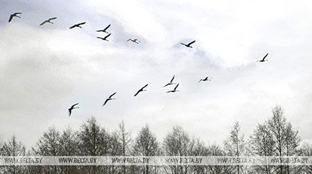 В Беловежскую пущу прилетели первые серые гуси и журавли