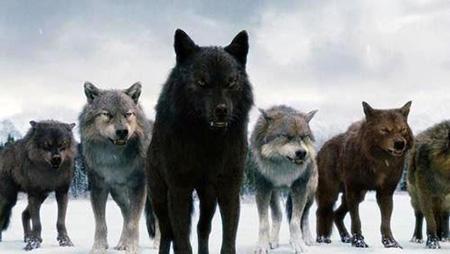 Ещё две волчьи стаи уничтожили шумилинские охотники