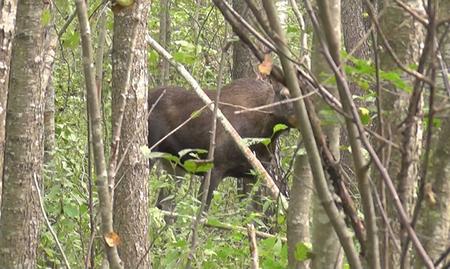 Под Шумилино браконьер поставил в лесу почти 45 петель. Один из попавших в них лосей погиб